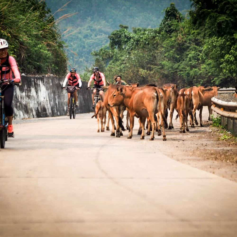 Cyclists passing cows on the Ho Chi Minh Trail