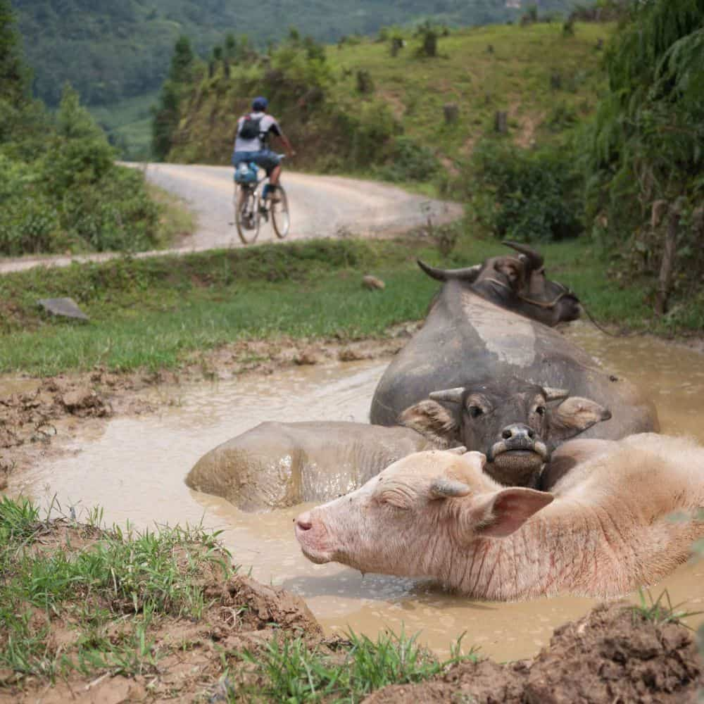 cyclist passing water buffalo whilst exploring northeast Vietnam by bicycle