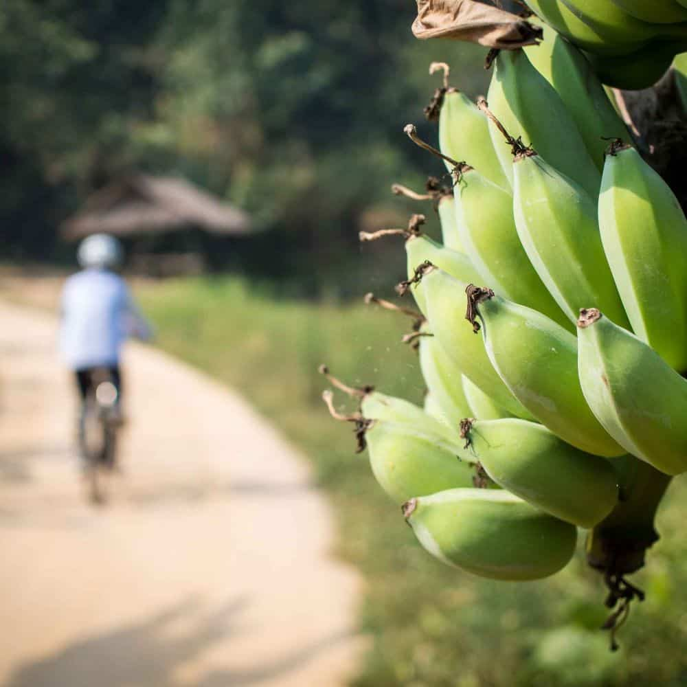 A cyclists passing road sire banana tree in north Thailand