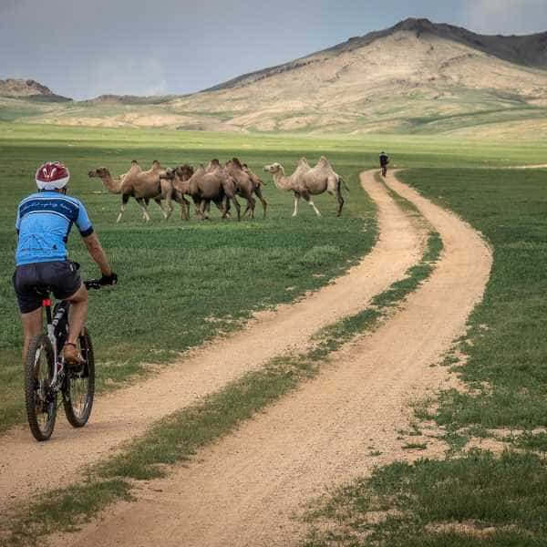 A cyclist on a gravel road in Mongolia passes a herd of camel