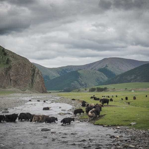 Herd of yak cross a river during a cycling tour of Mongolia