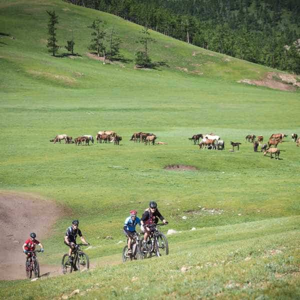 Cyclist touring Mongolia pass a hear of horses