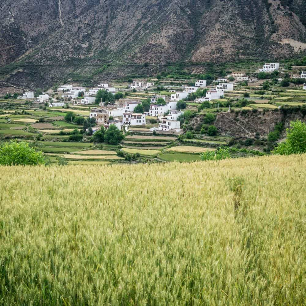 White Tibetan houses and fields of barley in Sichuan China
