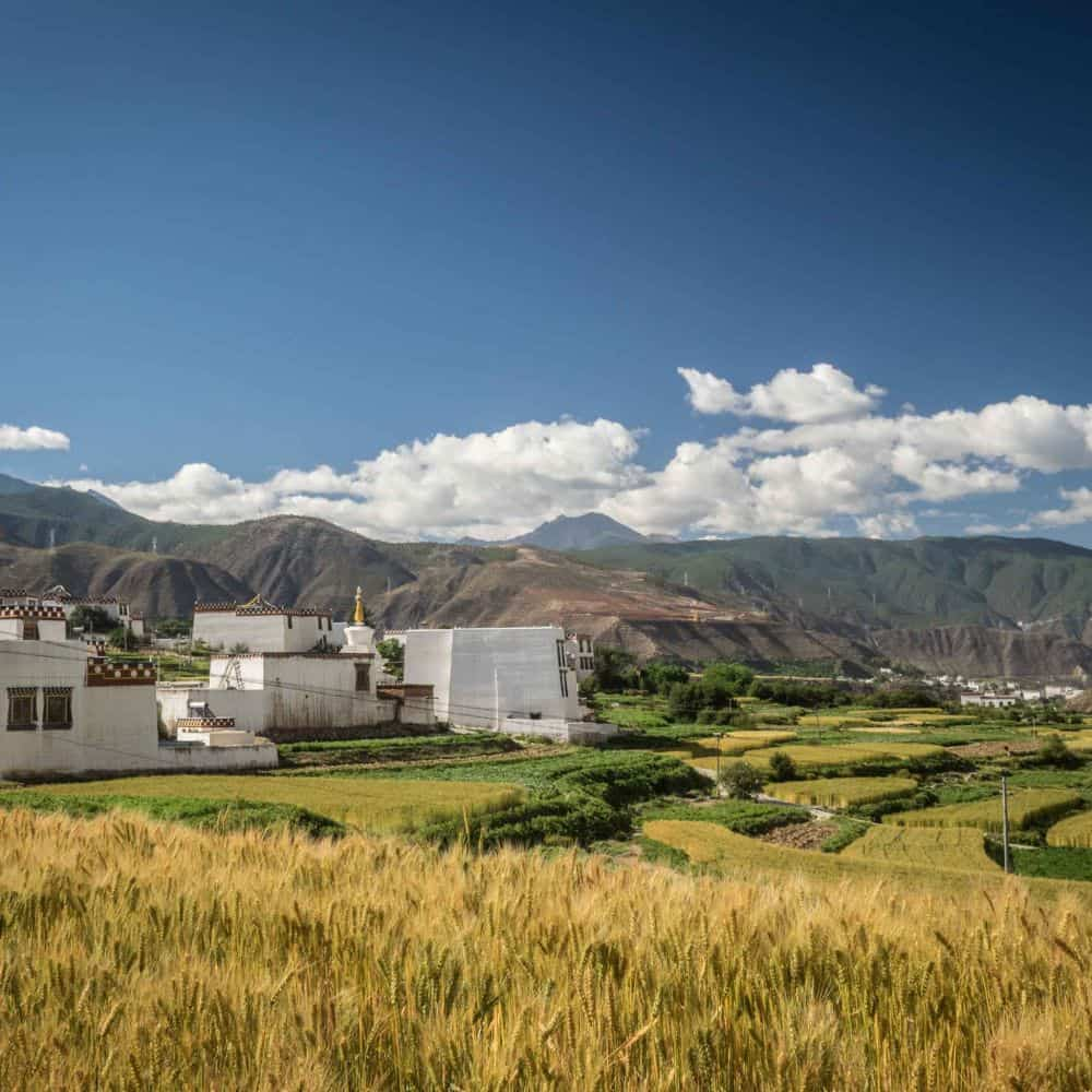 Large white Tibetan houses and fields of barley in Sichuan China