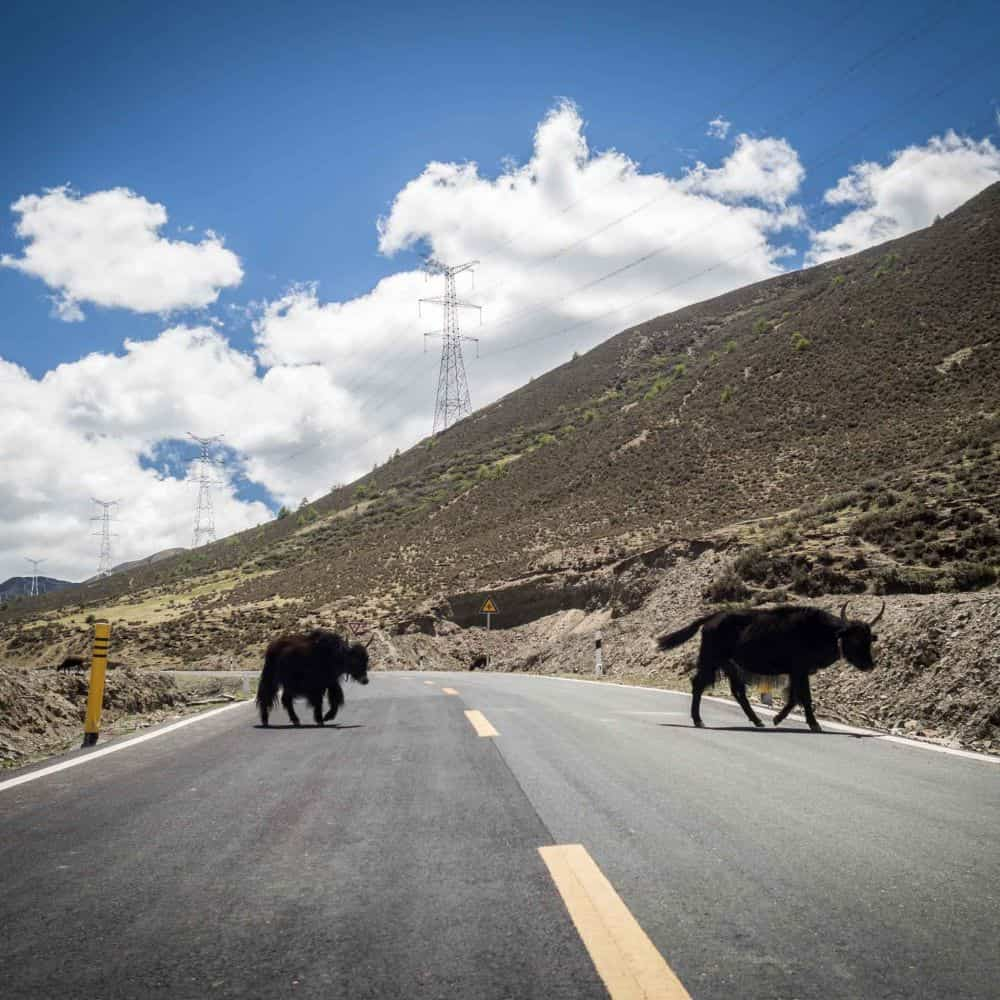 Yaks crossing the road in Sichuan China