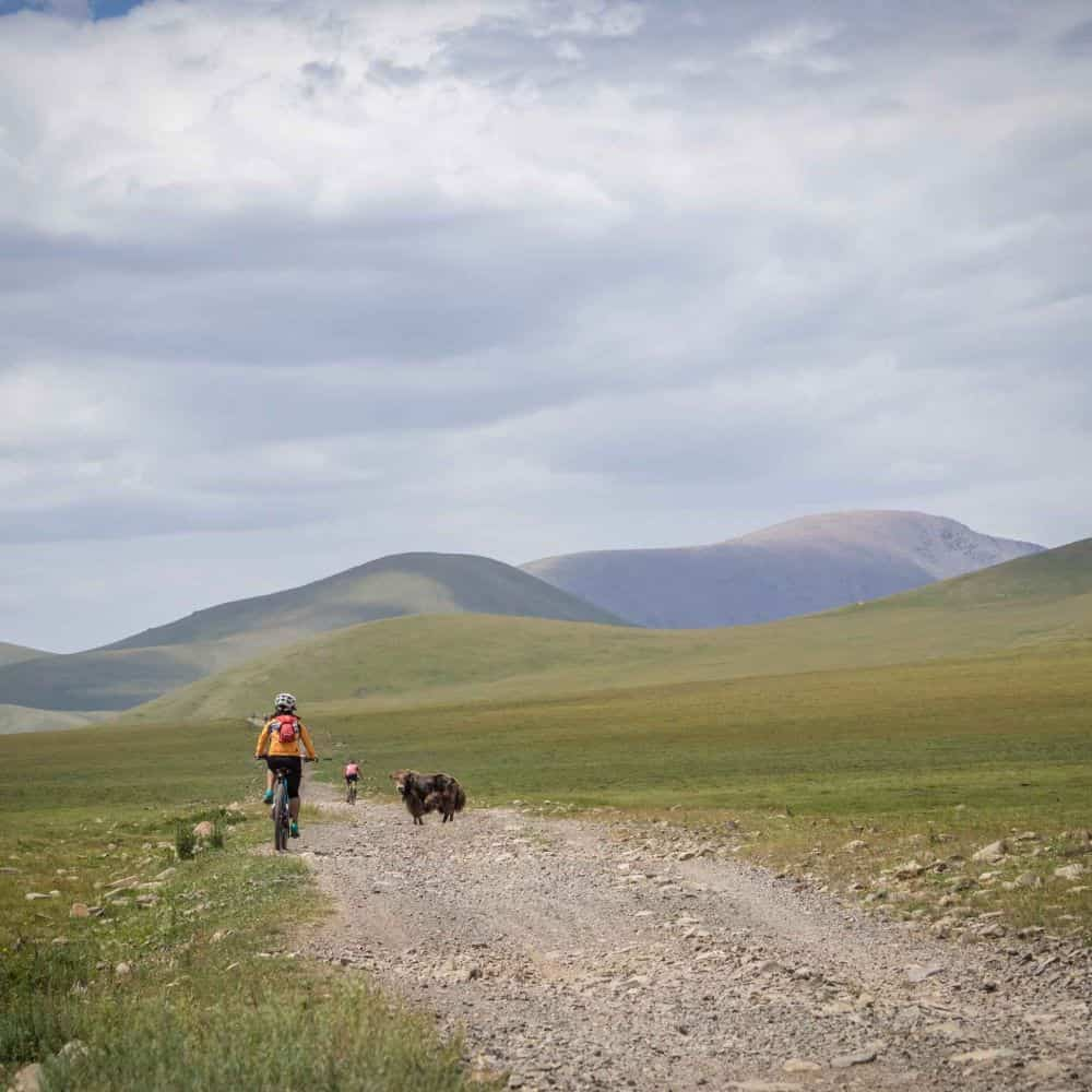 A cyclists on a gravel road meets a yak in Mongolia