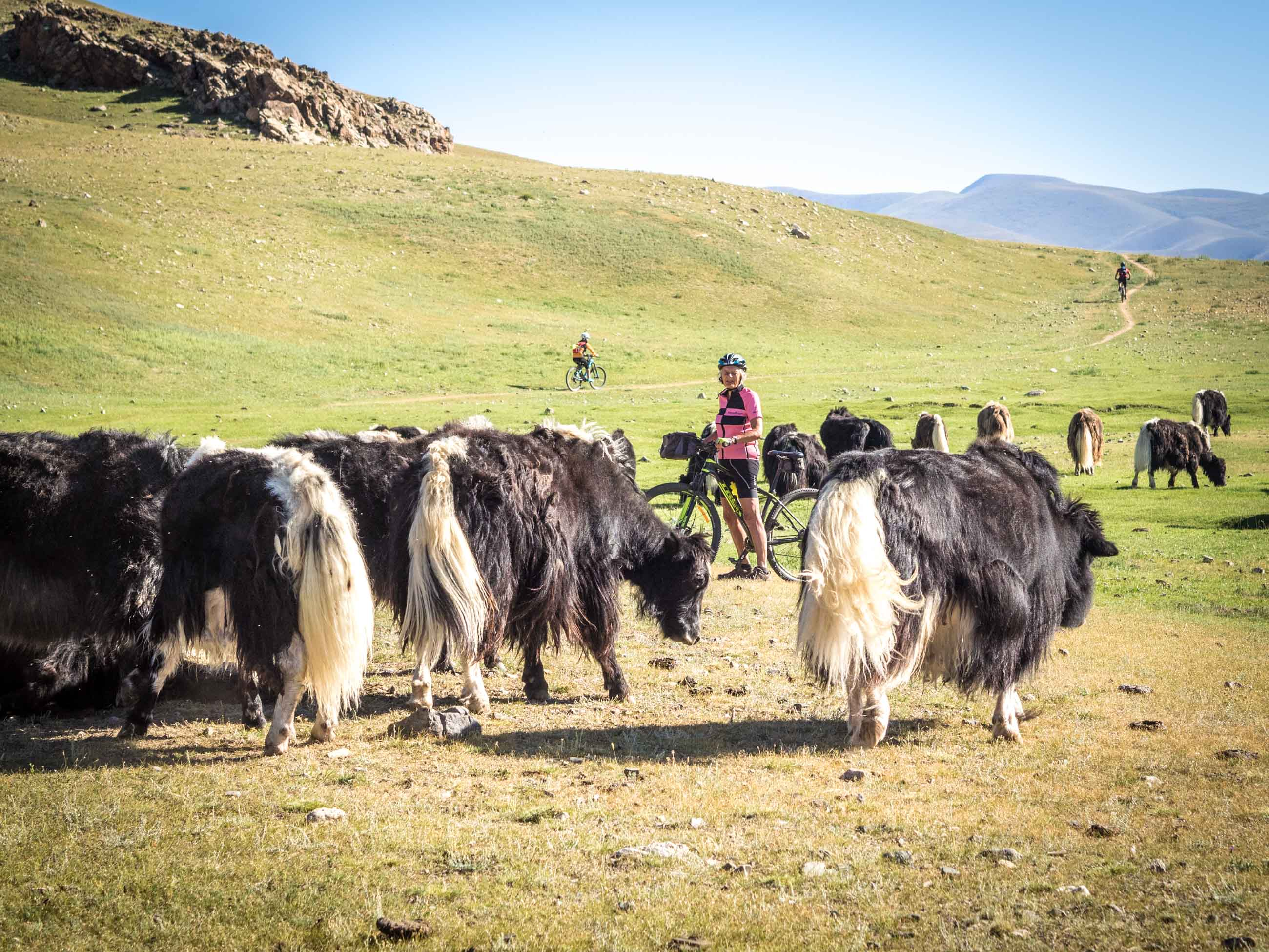 Cyclist and yak in Mongolia